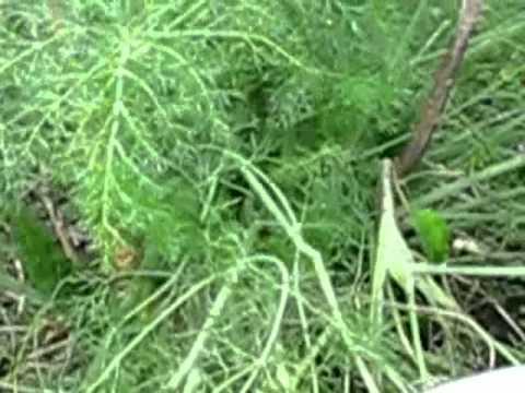 Фенхель – полезные свойства, выращивание, уход