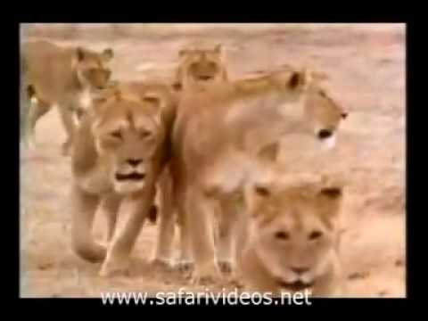 Lion Killed to Zebra, Buffalo and Attack Hyena Safari Videos
