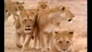 Repeat youtube video Lion Killed to Zebra, Buffalo and Attack Hyena Safari Videos