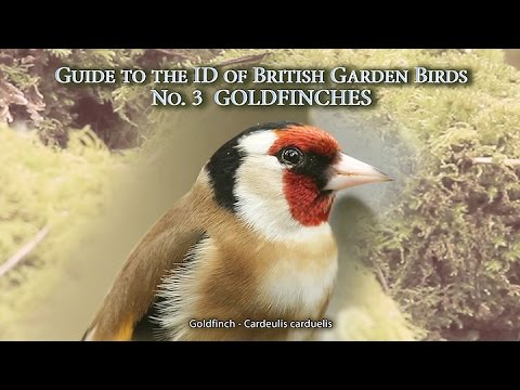 GOLDFINCHES – Guide to the ID of British Garden Birds N0.3