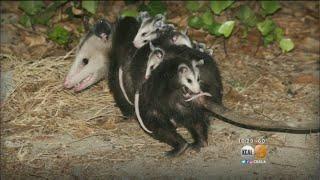 Flea-Borne Typhus Outbreak Spreads To Long Beach