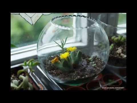Conophytum bilobum Zeitraffer ganzer Tag
