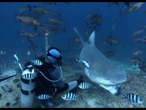 Bull Shark feeding in Fiji - Benedict Cumberbatch narrates South Pacific - BBC