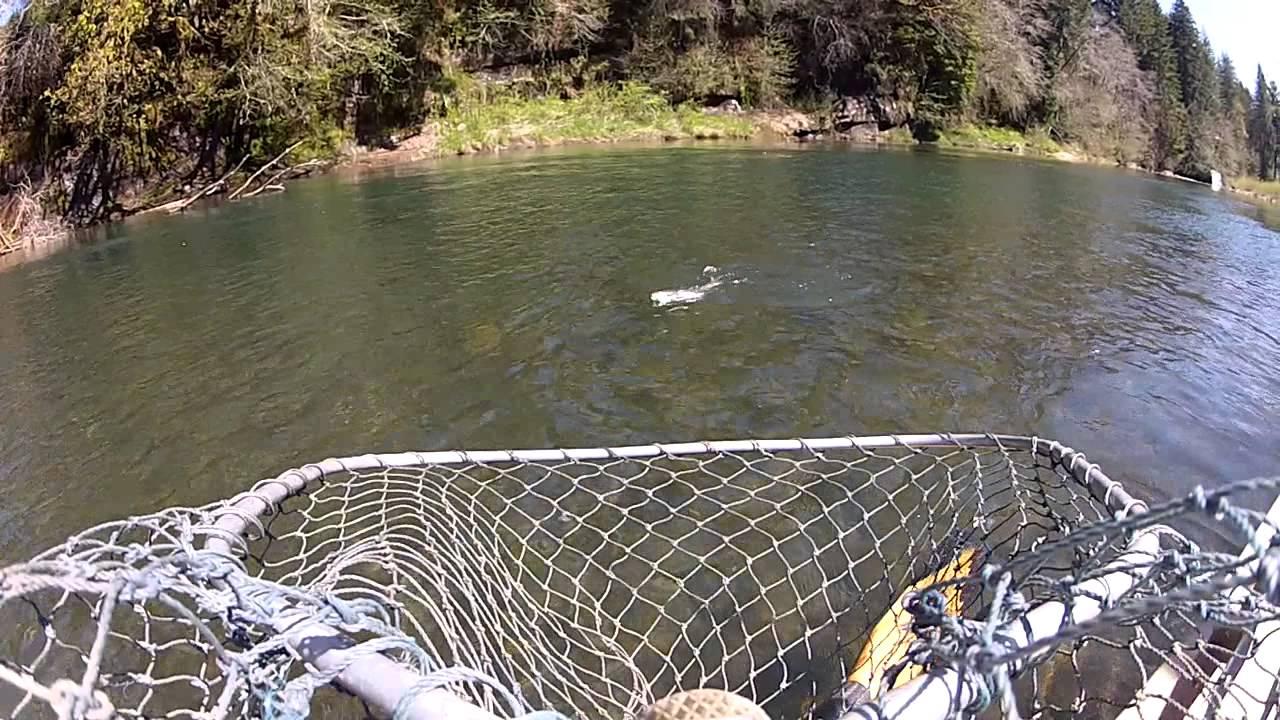 Steelhead fishing on the siletz river or youtube for Siletz river fishing report