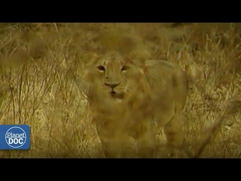 Gujarat, el hogar de un león