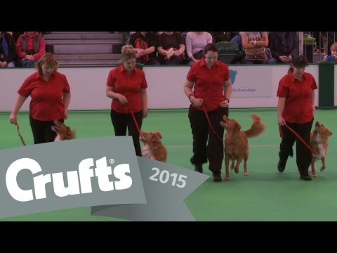 Obreedience Part 1 - Retriever, Pyrenean Sheepdog, Shetland Sheepdog & Chihuahua | Crufts 2015