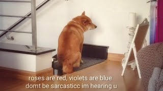 Shiro doin a protestino - Shiba Inu puppies (with captions)
