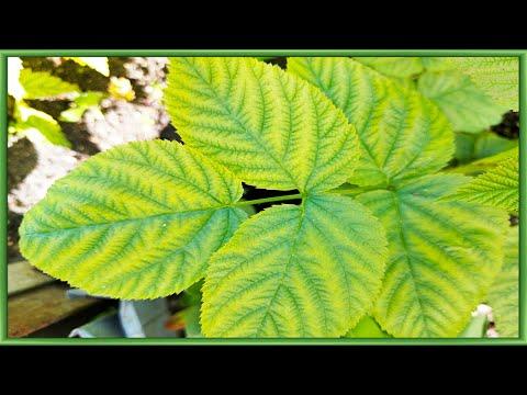 Хлороз болезнь листьев лечение