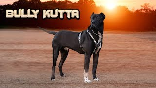 Bully Kutta - The Best Game Dogs