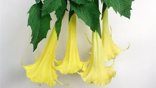ABC TV   How To Make Brugmansia Paper Flower From Crepe Paper - Craft Tutorial