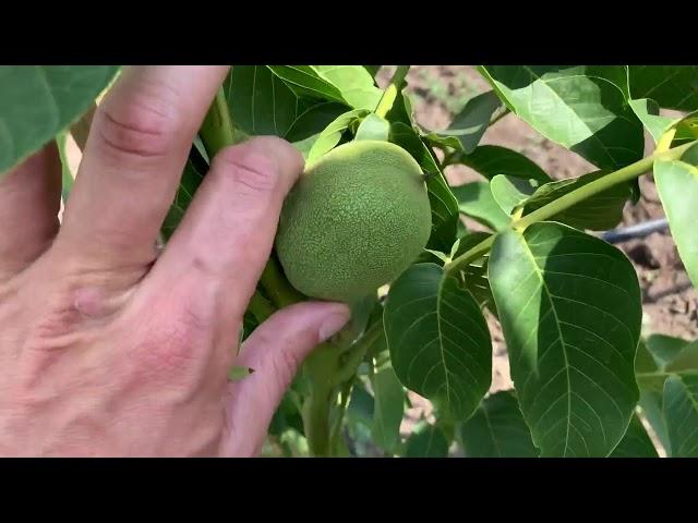 Маточний сад грецького горіху ІНТР