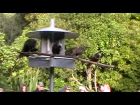 Kaka feeding at Pukaha Mount Bruce