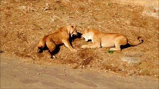 多摩動物公園(ライオン) 背中は噛んじゃダメ!