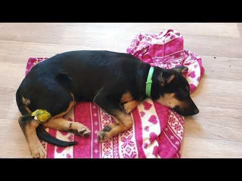 лечим энтерит у щенка ВЕО в домашних условиях