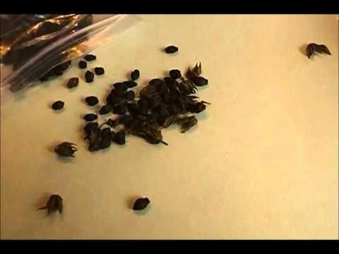 Saving Garden Seed 4 O'clocks - Red