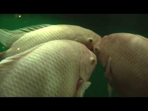 Giant Gourami 24ft Aquarium