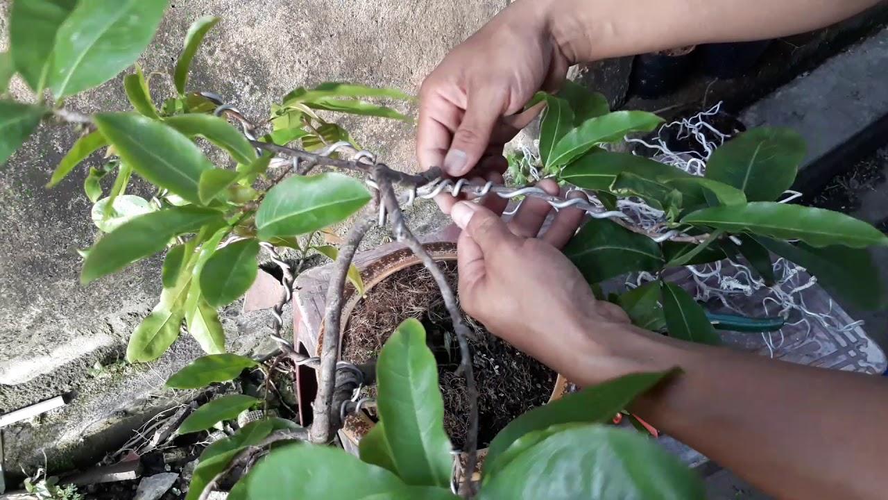 Uốn cây mai vàng tạo dáng bonsai đẹp
