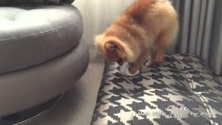 Pomeranian Belckin - Ugly Duckling Period