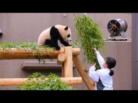遊んで欲しいパンダの赤ちゃん VS 掃除をしたい飼育員さん Panda baby and keepers