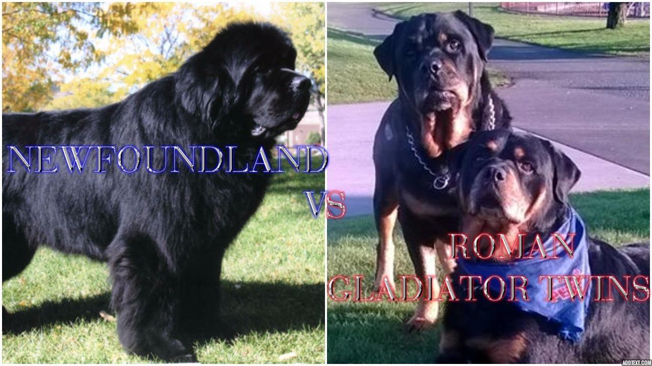 Gladiator Rottweiler Twins Vs 160 Lb Newfoundland Youtube