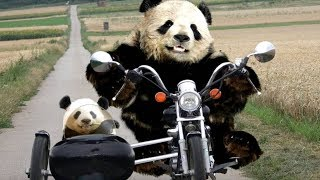 Cute Pandas Doing Strange And Funny Action ★ Funny Babies and Pets