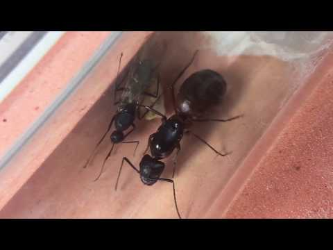 Surprise! C. vicinus first worker turns out as a winged male alate