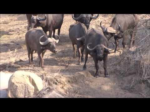 Paul Krugerpark. Een groep Leeuwen contra een groep buffels. Lions against buffalo's.