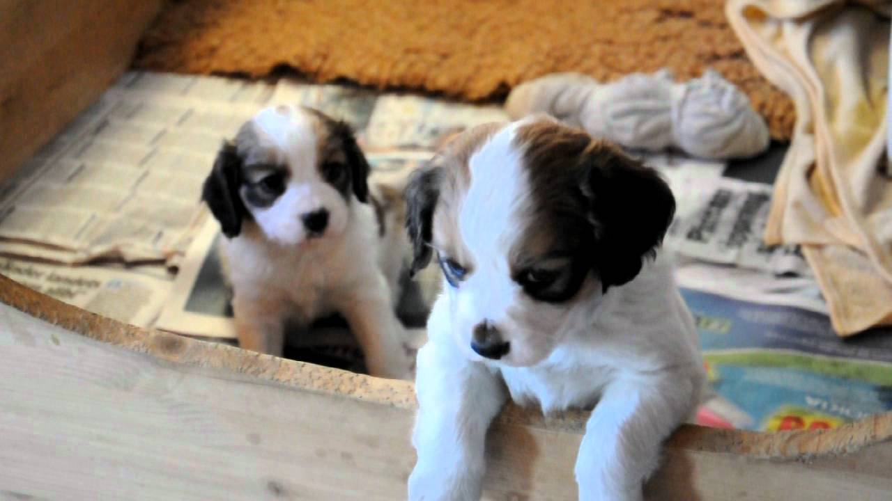 Kooikerhondje Puppies 6 Weeks Old Litter Ayan Youtube