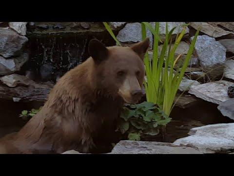 Bear Takes a Dip in Koi Pond