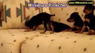 Miniature Pinscher, Puppies, For, Sale, In, Badger, County, Alaska, Ak, Kink Fairview, College