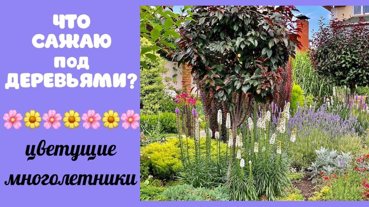 ЧТО САЖАЮ ПОД ДЕРЕВЬЯМИ? Цветы в саду. Лиатрис и другие МНОГОЛЕТНИКИ