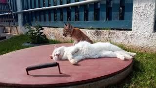 Рысь Даша домашняя Мне 3 месяца Знакомство с кошкой