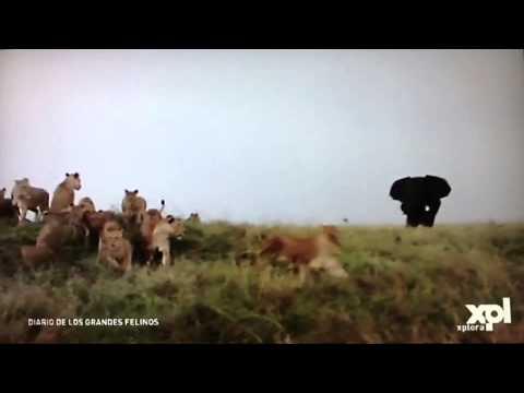 """Un Elefante """"ataca"""" a un grupo de unas 15 Leonas"""