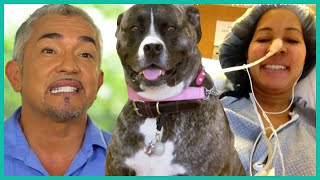 Overprotective Pitbull Mix Breaks Owner's Back | Cesar 911