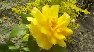Rockport texas ,Beautiful Yellow Roses