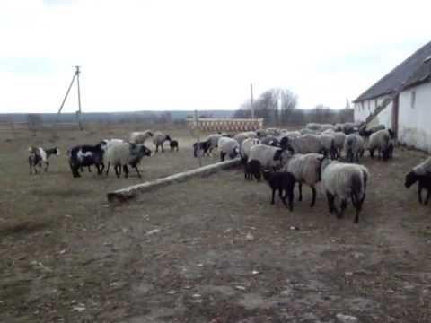 Фермири козів відео фото 696-220