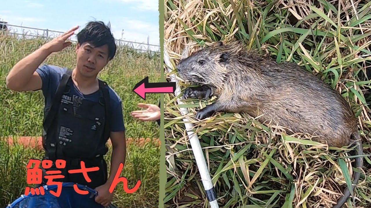 ヌートリア捕獲して爬虫類系Youtuber鰐さんのペットに提供してみた【琵琶湖ガサガサ探検記43】