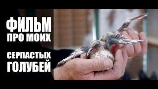 Film about serpasto pigeons / Фильм про моих серпастых голубей