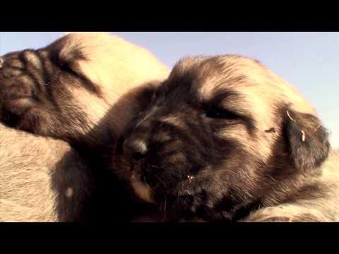 Sivas Kangal Belgeseli/ Documentary of Sivas Kangal