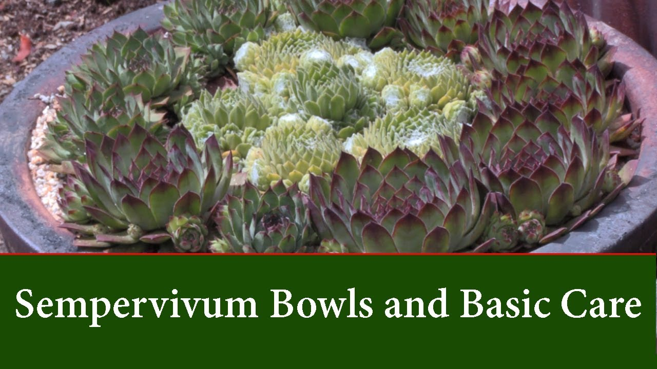 How to Plant & Grow an arrangement of Sempervivum Succulents in a Bowl How To Grow Plants Houseleek on lady's mantle plant, thyme plant, perennial plant, gold flower plant, scilla violacea plant, lemon verbena plant, daffodil plant, goat's beard plant, catmint plant, bottling plant, poppy plant, hyssop plant, birch plant, hops plant, lemon balm plant, sage plant, holly plant, yarrow plant, hellebore plant,