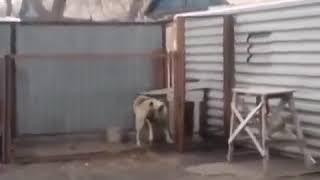 Собака красиво танцует под Моден Токинг.
