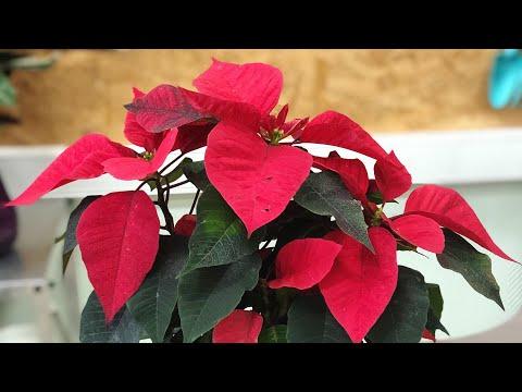 Рождественский цветок Пуансеттия уход и выращивание дома