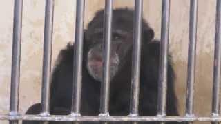 精神的な病のチンパンジー.