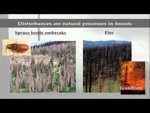 Do Spruce Beetles Make Forest Fires More Severe? Field Evidence from the San Juan Mountains, CO