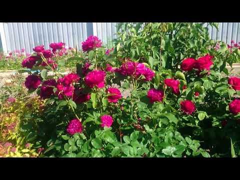 Мой сад роз. Лето 2017.
