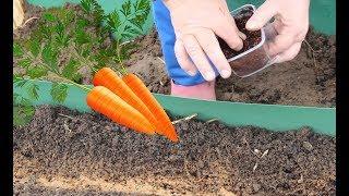 Как Получить Ранний Урожай Моркови. thumbnail