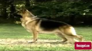 Akc Breeds: The German Shepherd
