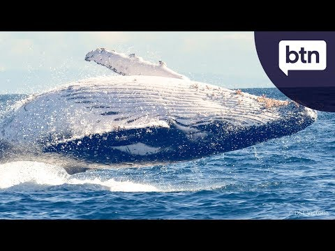 Humpback Whaling - Behind the News