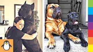 Для любителей Кане Корсо 🔥 Смешные и симпатичные собаки Corno Cane