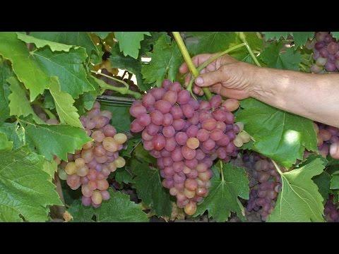 ВИНОГРАД  СОФИЯ. Красный виноград